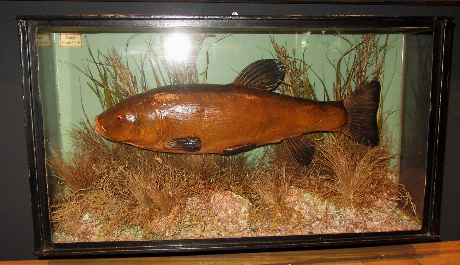 A cased taxidermy fish